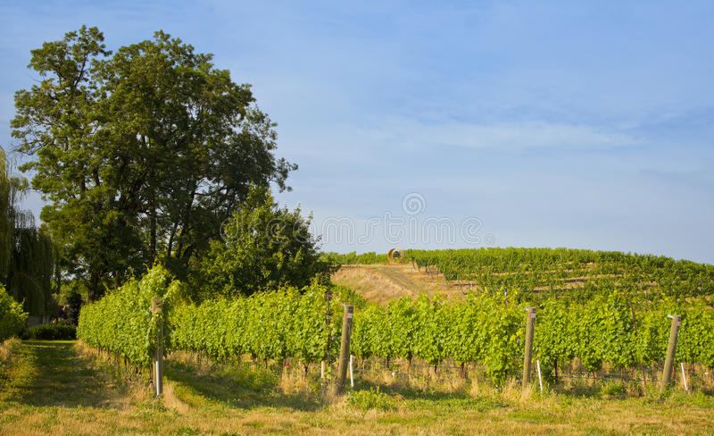 Vineyards, Walla Walla Wine Country, Washington. Vineyards with wine grape vines stretch across the hillside in the valley of Walla Walla, eastern Washington, a stock photography