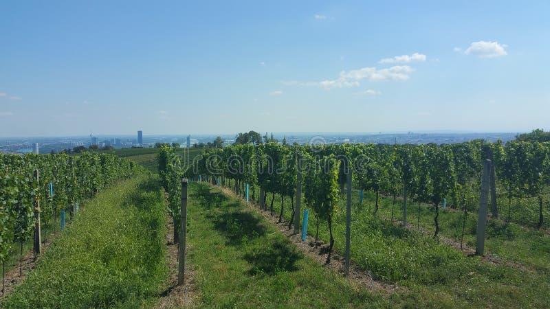 Vinfält på vienna Österrike royaltyfri foto