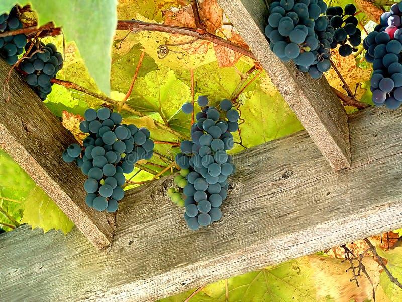 Download Vingård 2 fotografering för bildbyråer. Bild av frukt, sött - 277757