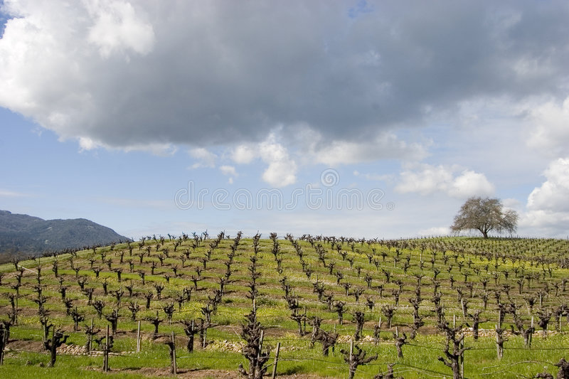 vingård 3 royaltyfri bild