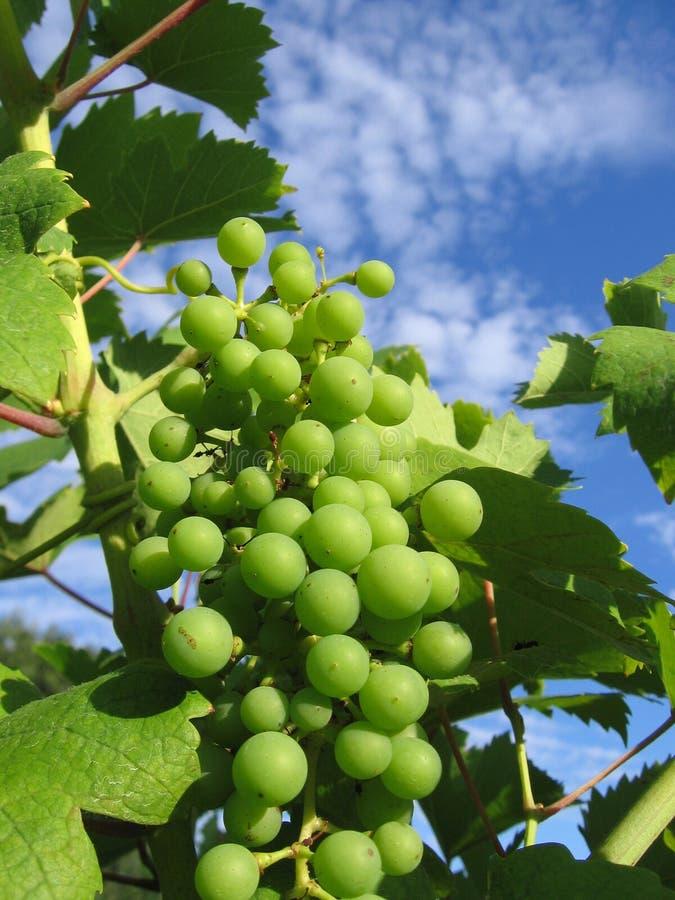 vingård royaltyfria bilder