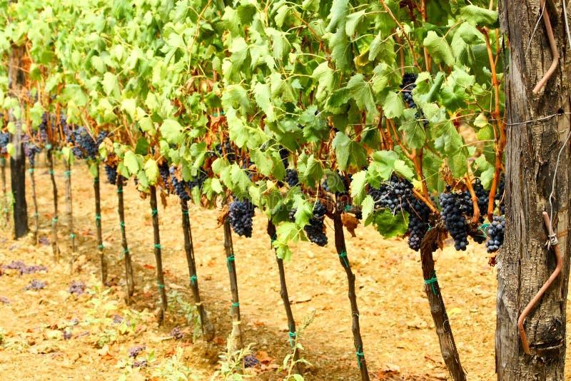 Vingård av röda druvor arkivfoto