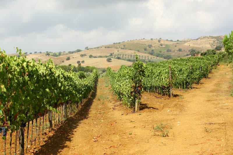 Vingård av röda druvor arkivfoton