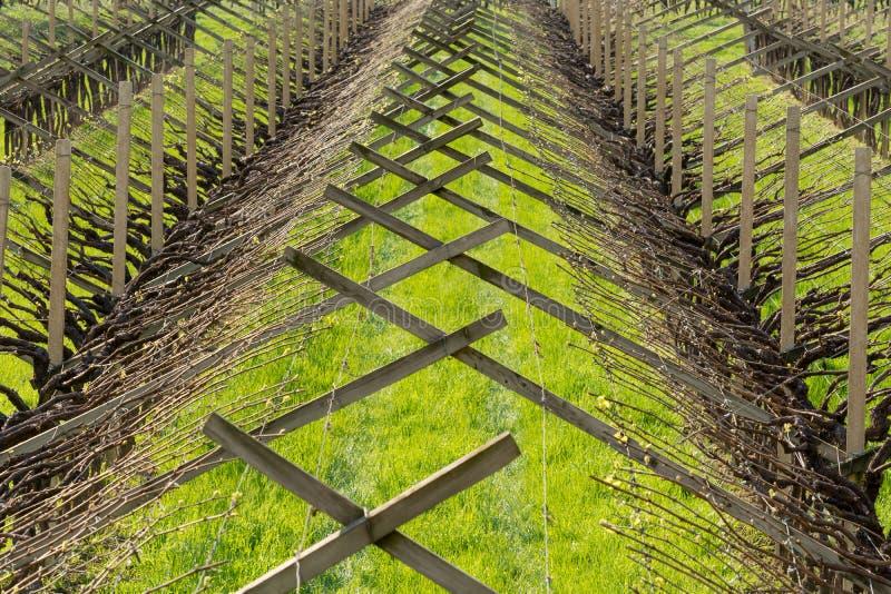Vingård i den växande regionen för vinranka av Trentino Alto Adige, nordliga Italien Vingård i Springtime arkivfoto
