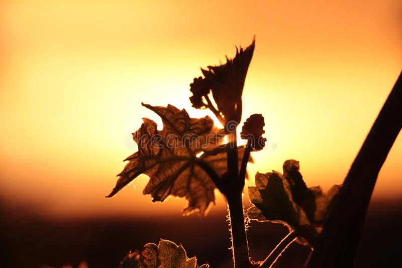 Vingård i solnedgången arkivfoton