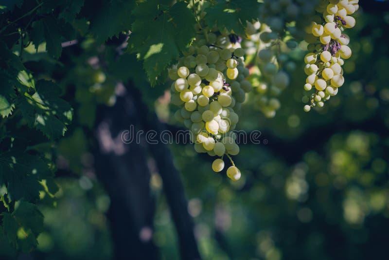 Vingård i sommar Stäng sig upp av grupp av druvor och vinrankor arkivfoto