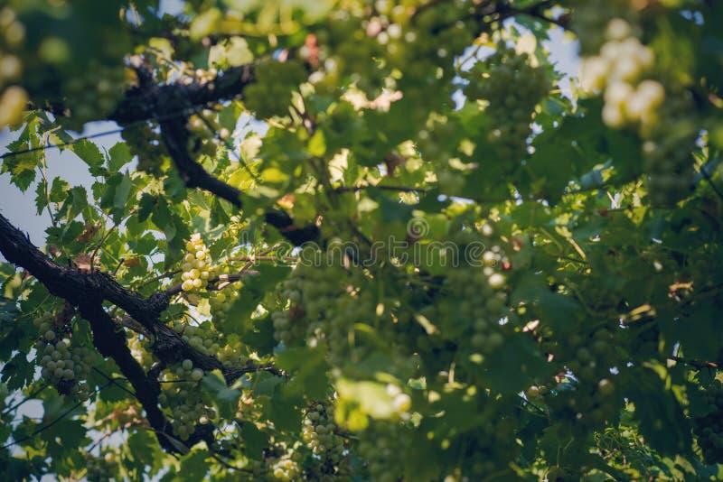 Vingård i sommar Stäng sig upp av grupp av druvor och vinrankor royaltyfri foto