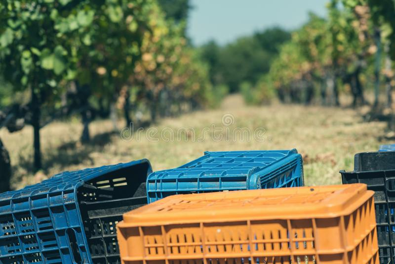 Vingård i sommar Stäng sig upp av grupp av druvor och vinrankor arkivbilder