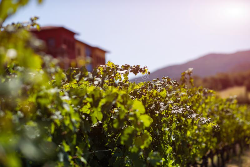 Vingård i sommar Stäng sig upp av grupp av druvor och vinrankor fotografering för bildbyråer