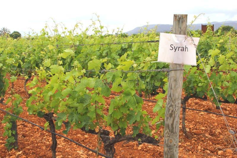 Vingård med druvorna av Syrah, Spanien arkivbild