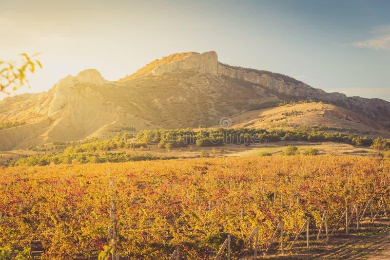 Vingård med guling-röda sidor i höst på solnedgången arkivbild
