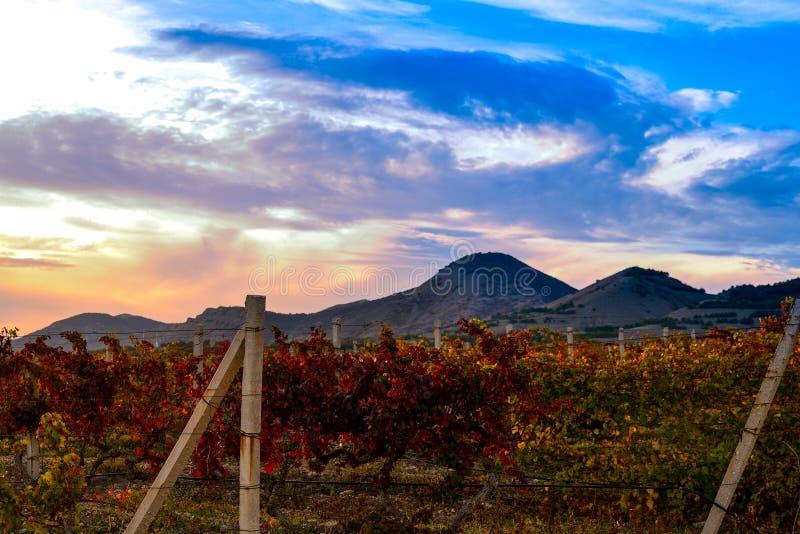 Vingård med guling-röda sidor i höst på solnedgången royaltyfri fotografi