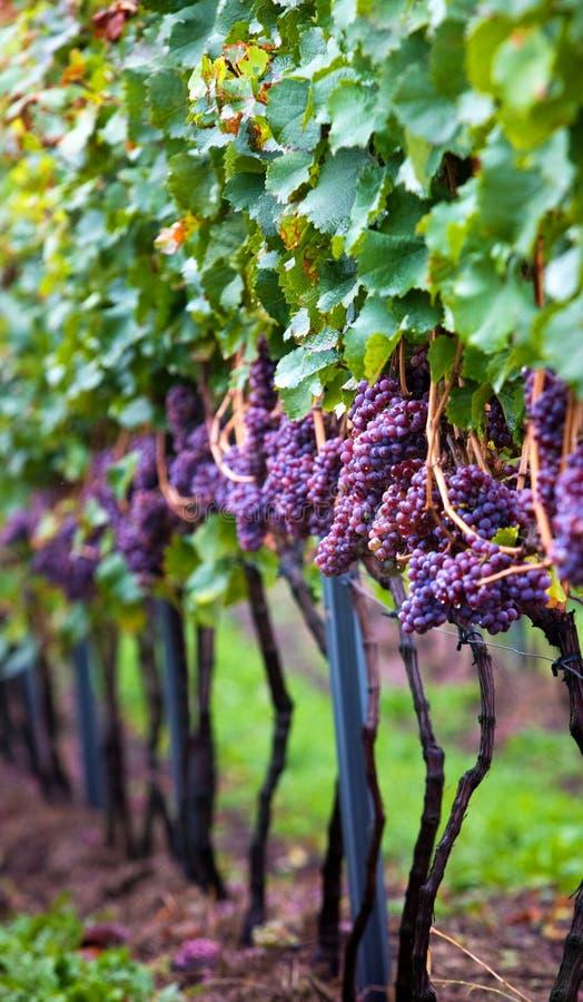 Vingård med vinrankor royaltyfri fotografi