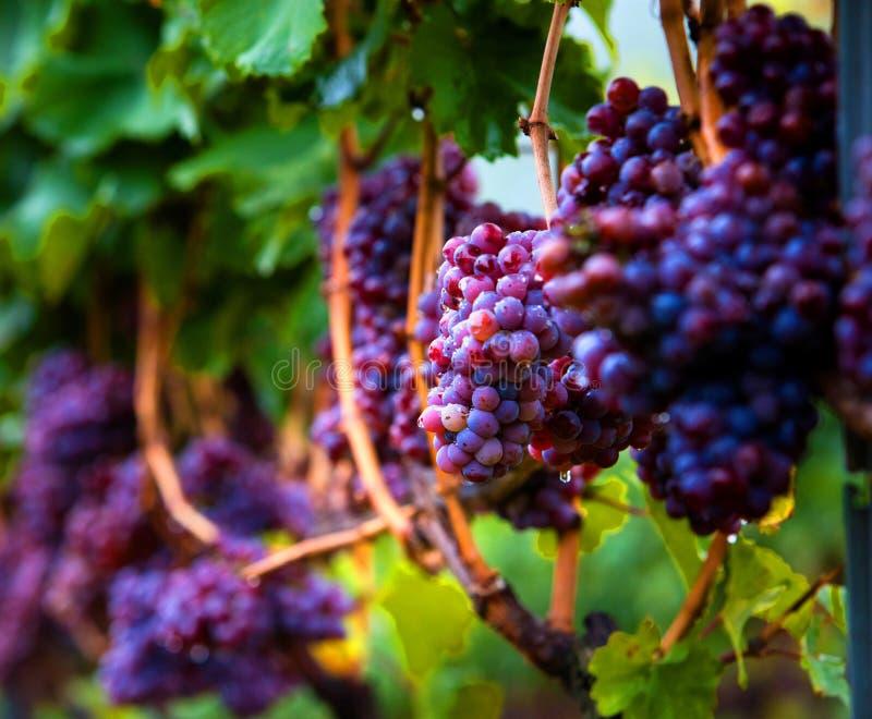 Vingård med vinrankor royaltyfria foton