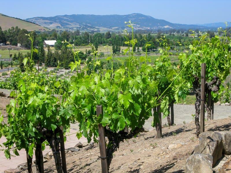 Vingård Napa Valley CA royaltyfria bilder