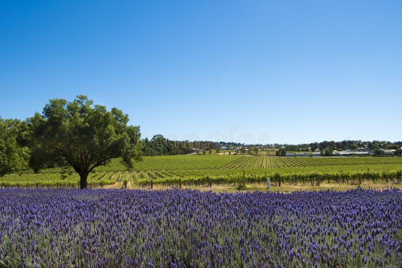 Vingård och lavendel, Barossa Valley, Australien arkivfoton