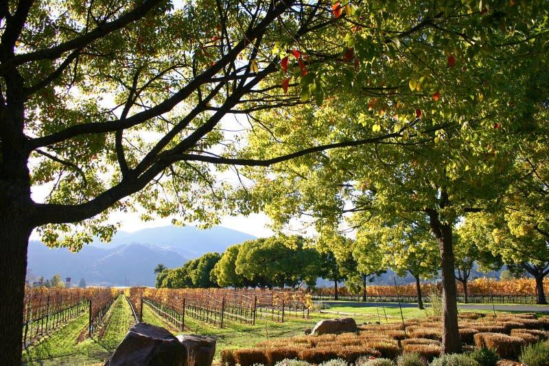 Vingård och rader av druvor med träd och berg i det Napa Valley vinlandet Kalifornien royaltyfri bild