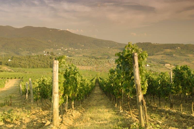 Vingård på kullarna av Chianti i Tuscany under sommarsolnedgång arkivfoton