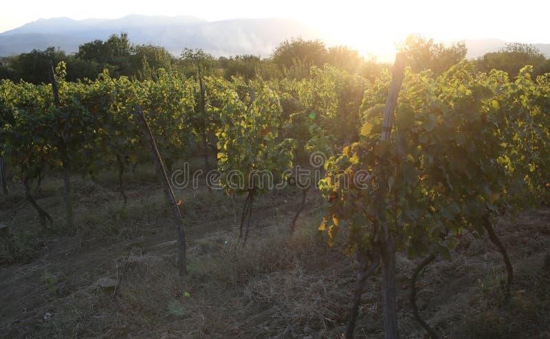Vingård på solnedgången Vinranka på lantligt landskap Vinerylantgård i sommarafton Organisk och vegetarisk mat Jordbruk eller arkivfoto