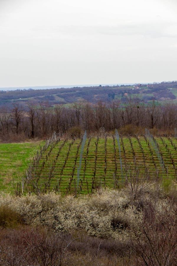Vingård som omges av jordbruks- fält royaltyfri bild