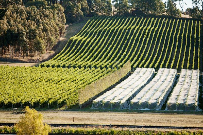 Vingård Tasmanien fotografering för bildbyråer