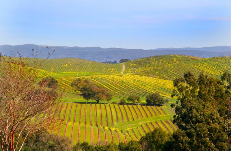 vingårdar arkivbild