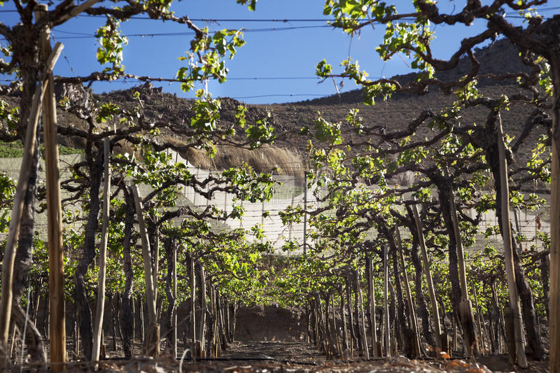 vingårdar royaltyfri fotografi