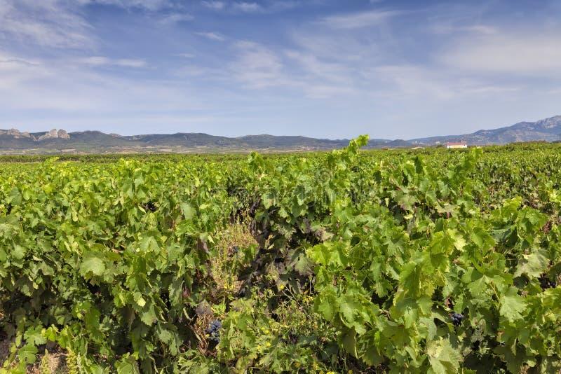 Vingårdar i regionen av La Rioja arkivfoton