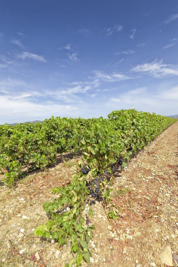 Vingårdar i regionen av La Rioja fotografering för bildbyråer
