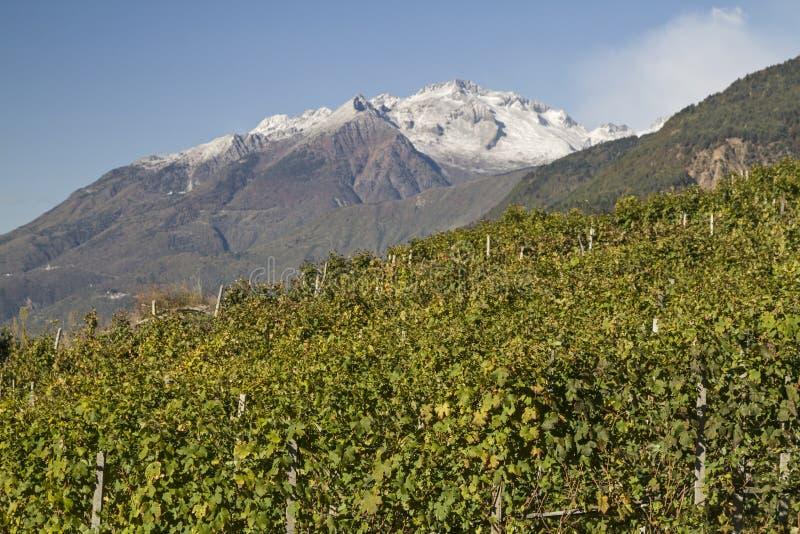 Vingårdar i Valtellina arkivbilder