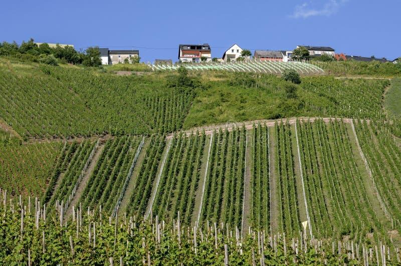 Vingårdar på den Moselle vinbyn, Tyskland arkivbilder