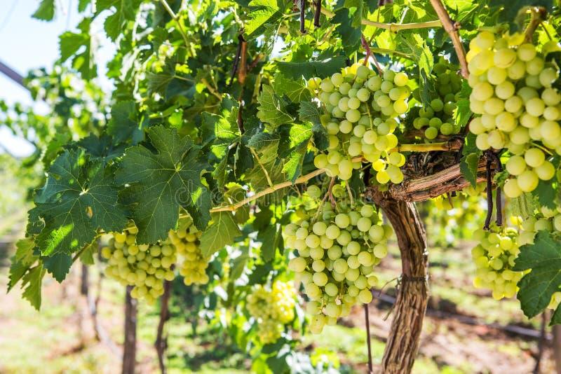 Vingårdrad med grupper av mogna druvor för vitt vin arkivfoton