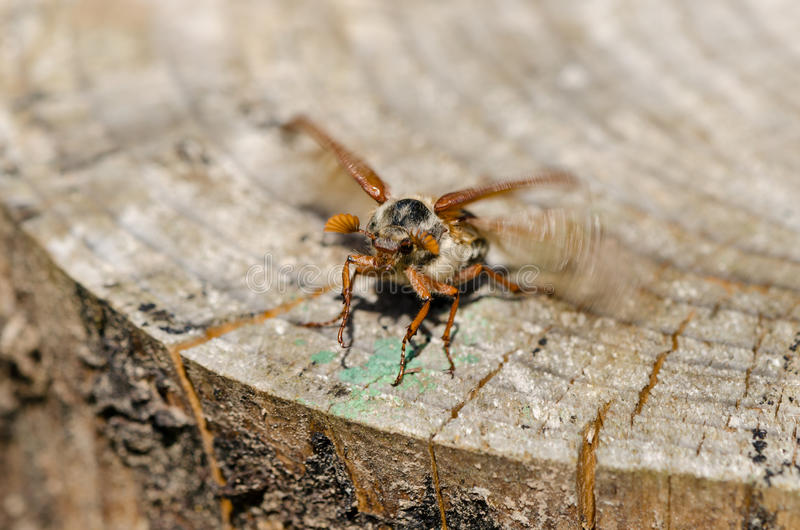 Vingar för spridning för fel för skalbagge för stubbekantkrypande försöker flugan royaltyfri bild