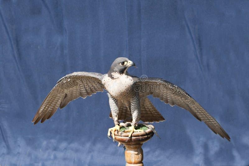 vingar för stand för falkperegrinespread fotografering för bildbyråer