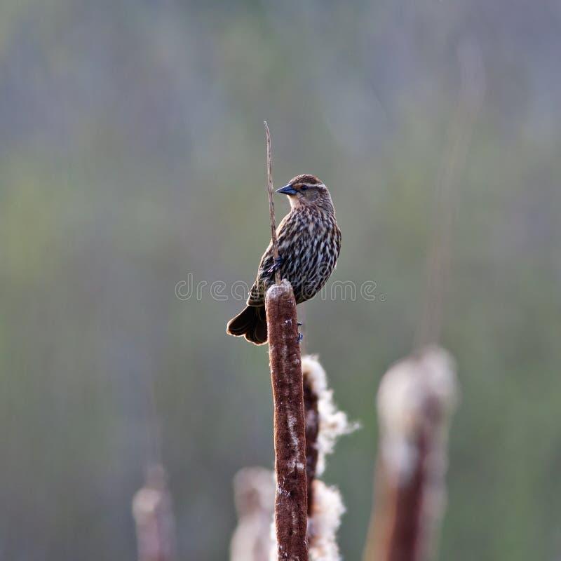 vinge för blackbirdkvinnligred royaltyfri foto
