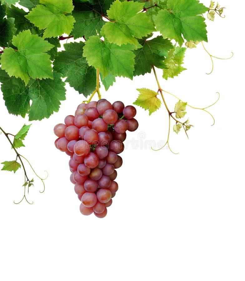 Vinha com o conjunto cor-de-rosa maduro da uva fotos de stock