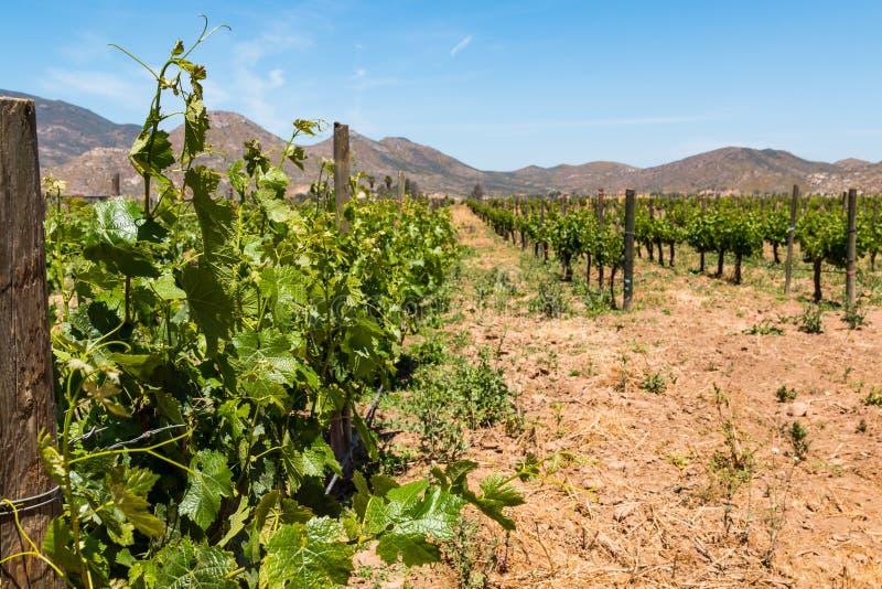 Vinha no vinhedo em Ensenada, México com montanhas foto de stock royalty free