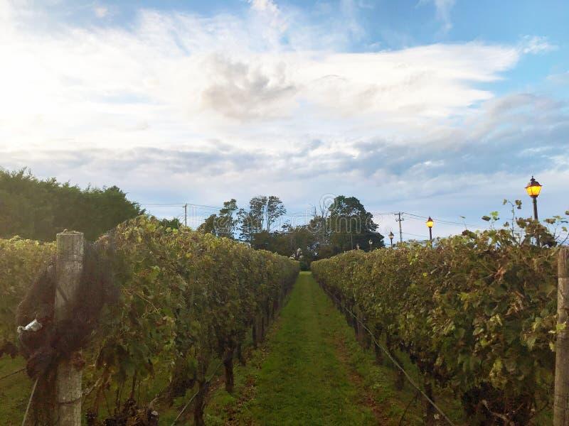 Vinhas do vinhedo do vinho fotografia de stock