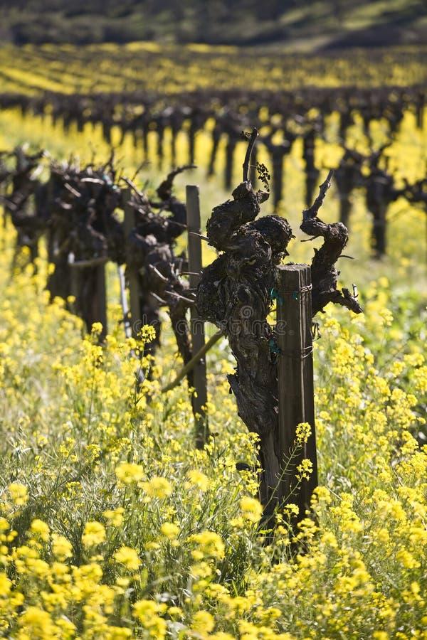 Vinhas e flores da mostarda, Napa Valley foto de stock