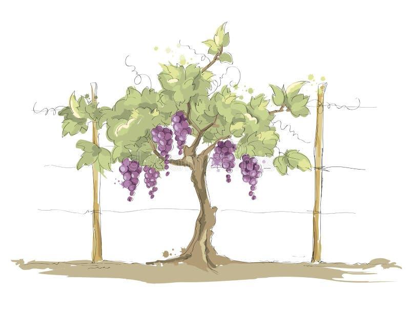 Vinhedo ilustração royalty free