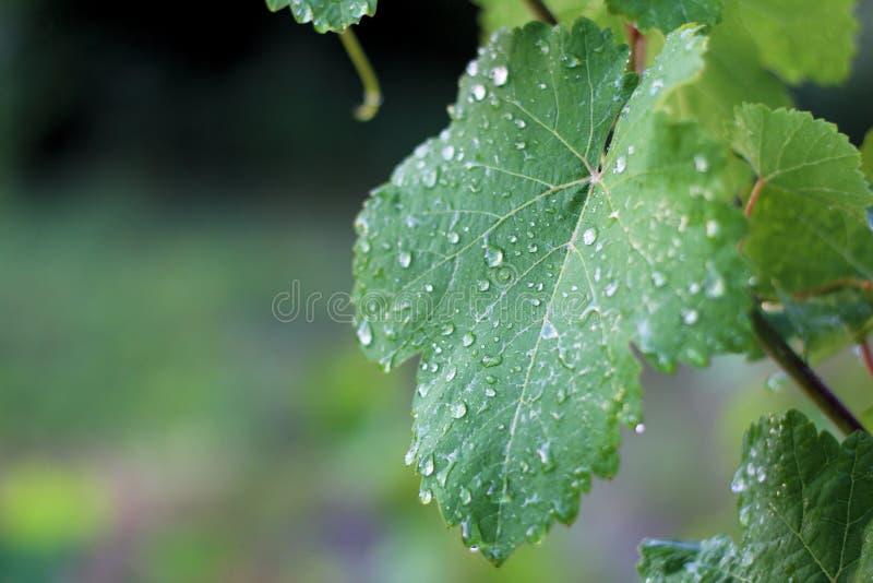 Vinhedo ap?s a chuva Fim acima das folhas da uva com gotas da água fotos de stock