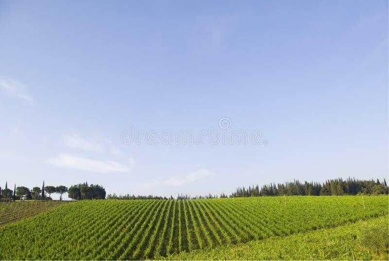 Vinhedo, Chianti foto de stock royalty free