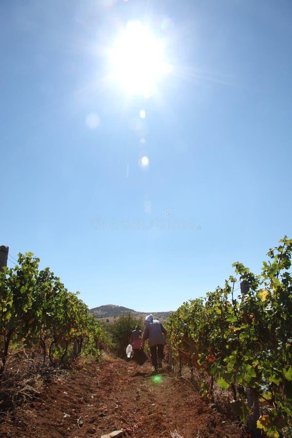 Vinhedo - colheita da uva - dia ensolarado fotografia de stock royalty free