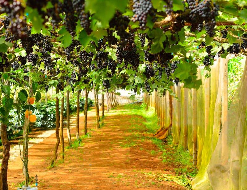 Vinhedo, colheita das uvas imagem de stock