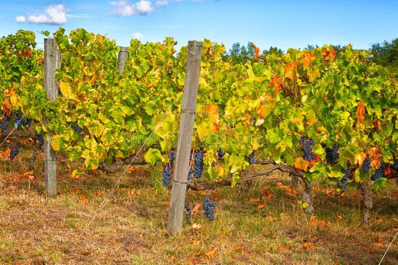 Vinhedo com as uvas amadurecidas fotografia de stock