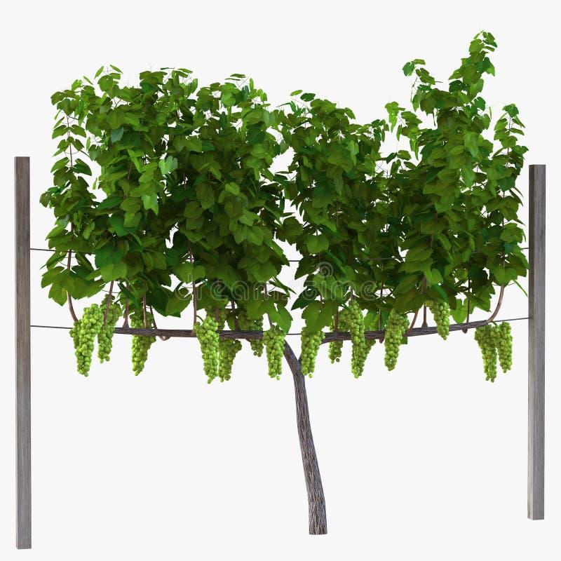 Vinhedo com as uvas maduras no branco ilustração 3D ilustração royalty free