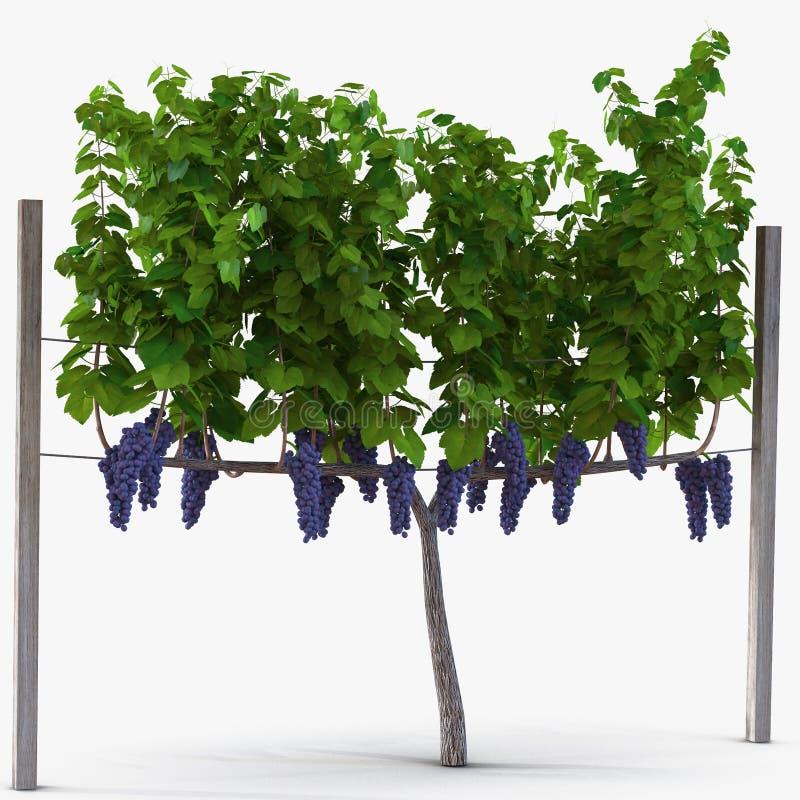 Vinhedo com as uvas maduras no branco ilustração 3D ilustração do vetor