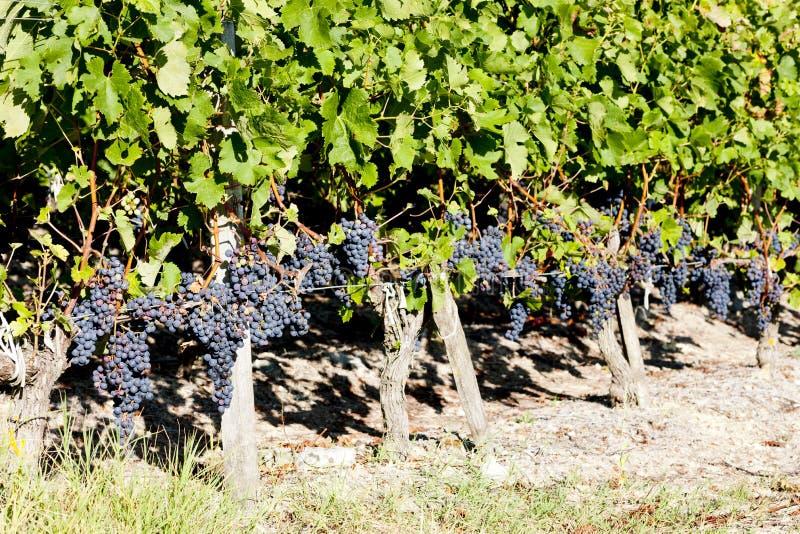 Vinhedo com uvas vermelhas imagens de stock royalty free