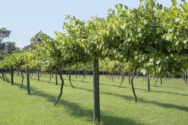 Vinhedo da uva do Muscadine imagens de stock
