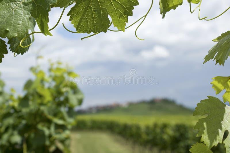 Vinhedo de Alsácia. imagem de stock royalty free
